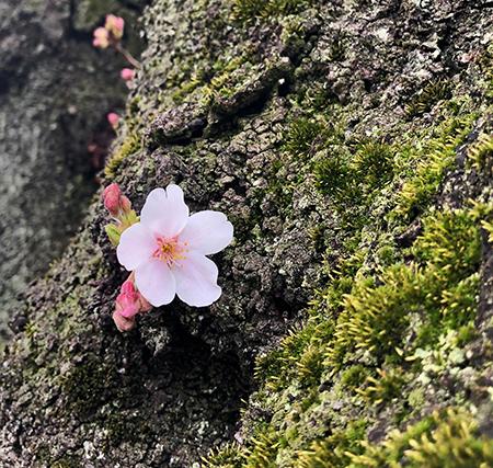one sakura.jpg