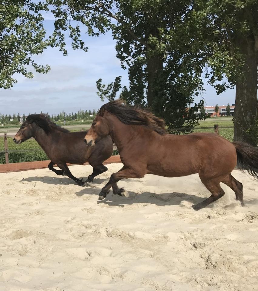 De kracht van paarden - Paarden zijn afhankelijk van de bescherming van hun kudde om te overleven in het wild. Ze zullen er dan ook alles aan doen om de groep in evenwicht te houden. Het is daarbij niet het hoogste doel om leider van de kudde te worden, maar dat de kudde een goede leider heeft. Ieder paard binnen de kudde heeft zijn eigen kwaliteit en daarmee zijn eigen rol. De natuurlijke behoefte van een paard om samen te werken en een betrouwbare leider te zoeken geeft op unieke wijze inzicht in onze gedragspatronen. De paarden kennen namelijk geen maatschappelijk norm, ze zullen je niet als leider zien omdat je een duur pak draagt of een uitgebreid cv hebt. Ze zien je voor wie je bent.