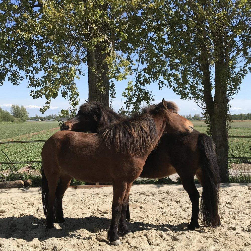 TEAMS - Hoe is de groepsdynamiek binnen jullie team? En wat kunnen jullie van elkaar en de paarden leren?Voor antwoorden op dit soort vragen kan coaching met paarden de uitkomst zijn. Als groep krijg je opdrachten die gericht zijn op thema's die in jullie groep spelen zoals leiderschap, samenwerking en vertrouwen. Het gebruik van paarden voor coaching met een groep is waardevol omdat paarden als kuddedieren experts zijn in groepsdynamiek. De observaties die ik als coach maak tijdens de opdrachten geef ik op een constructieve manier terug. Daarnaast stimuleer ik jullie tot zelfreflectie en het samenbrengen van de individuele kwaliteiten binnen jullie groep. Het is verdiepend maar ook een plezierig uitje met jouw team.