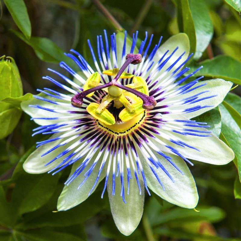 passiflora2.jpg