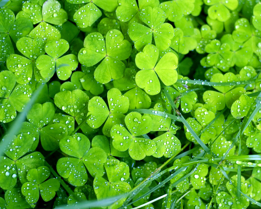 Holidays_St._Patrick_s_Day_Green_clover_015344_.jpg