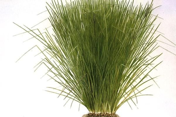 vetiver_grass.jpg