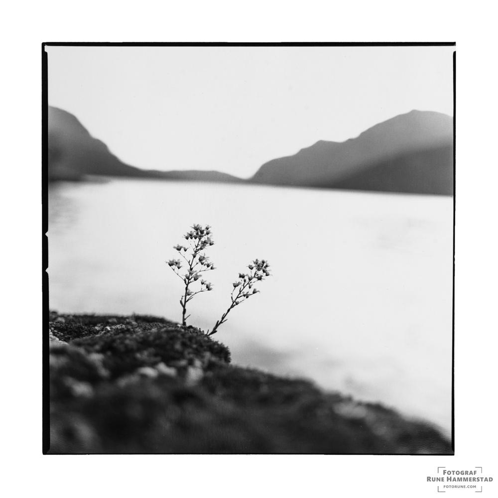 fotograf-oslo-hasselblad-naturfoto-vang-i-valdres-bergfrue-blomst.jpg
