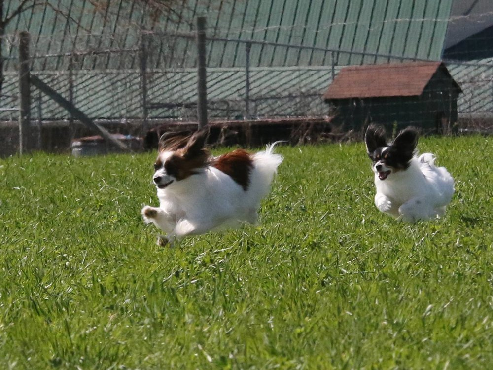 Django and Gypsy  - The all breeds practice featured 2 crowd pleasing Papillons, Django (in front) and Gypsy.  They were feisty and fun to watch as they chased the lure around the field.(photo by C Ellery)