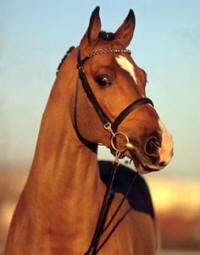 Catoke, photo credit Superior Equine Sires