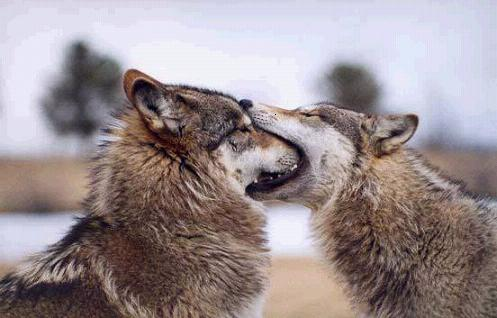 lovewolves