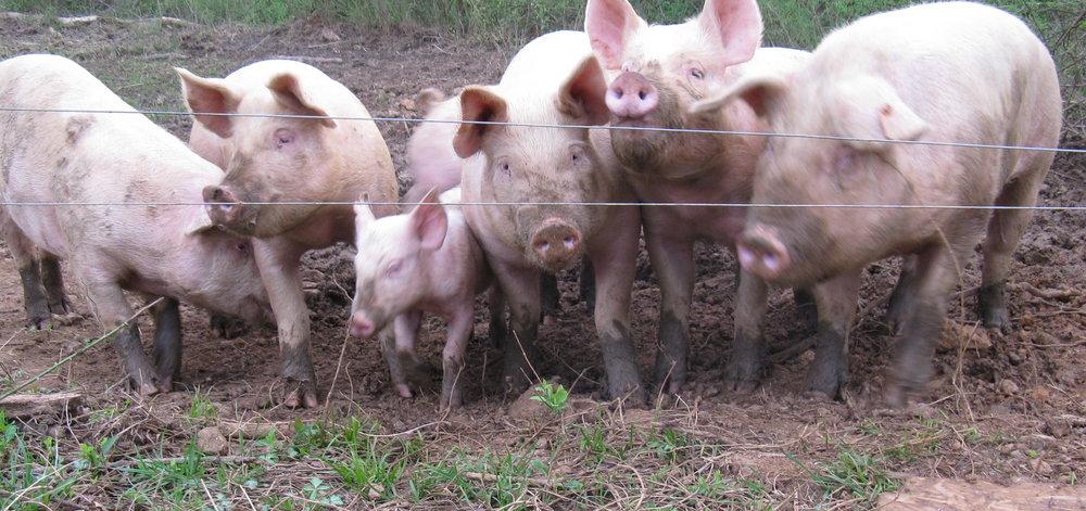 pigs 002.jpg