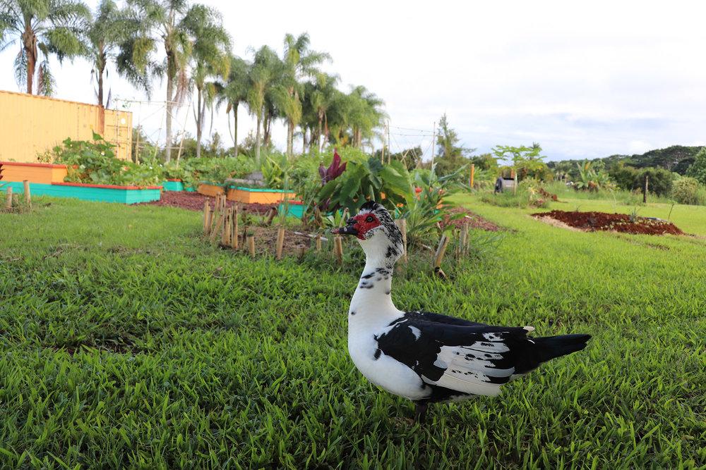farm duck 2000x1333.jpg