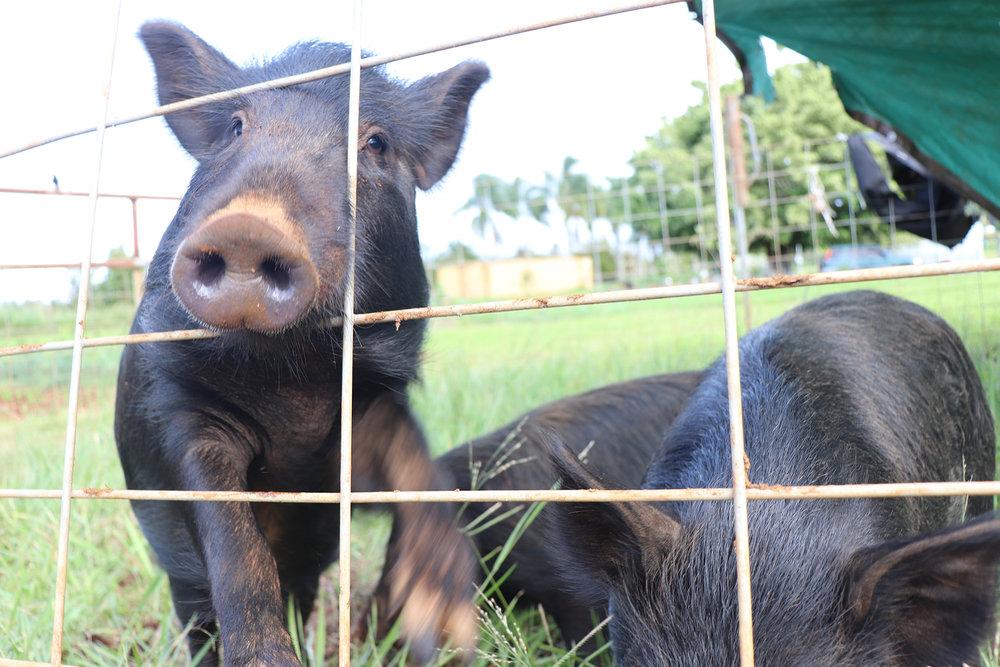 farm pig 2000x1333.jpg