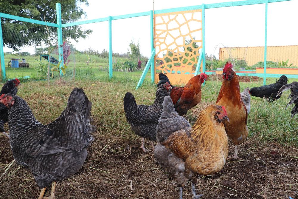 farm chickens coup 2000x1333.jpg