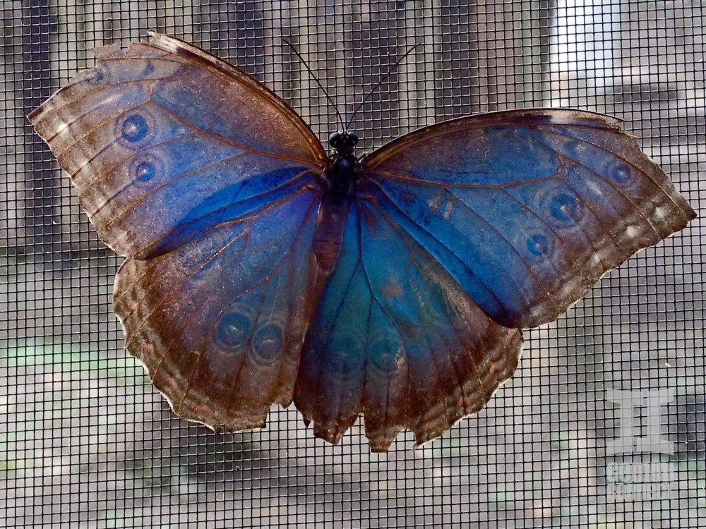 Butterfly-Blue-Morpho-01-e1393405126989.jpg
