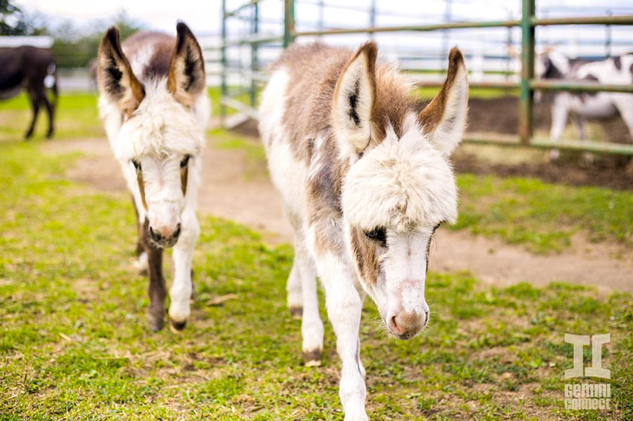 Miniature-Donkeys-02.jpg