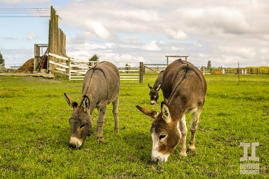 Miniature-Donkeys-07.jpg