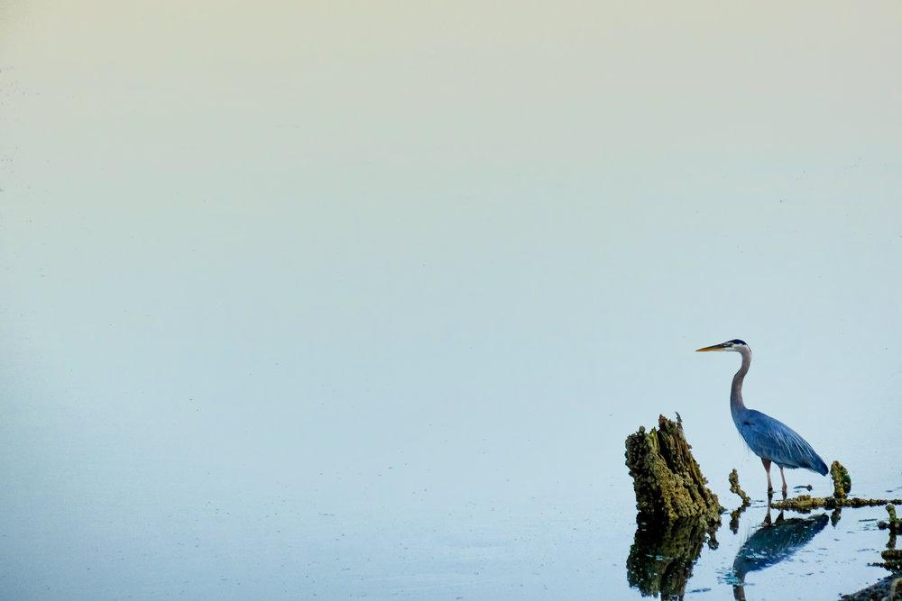 blue-crane.jpg