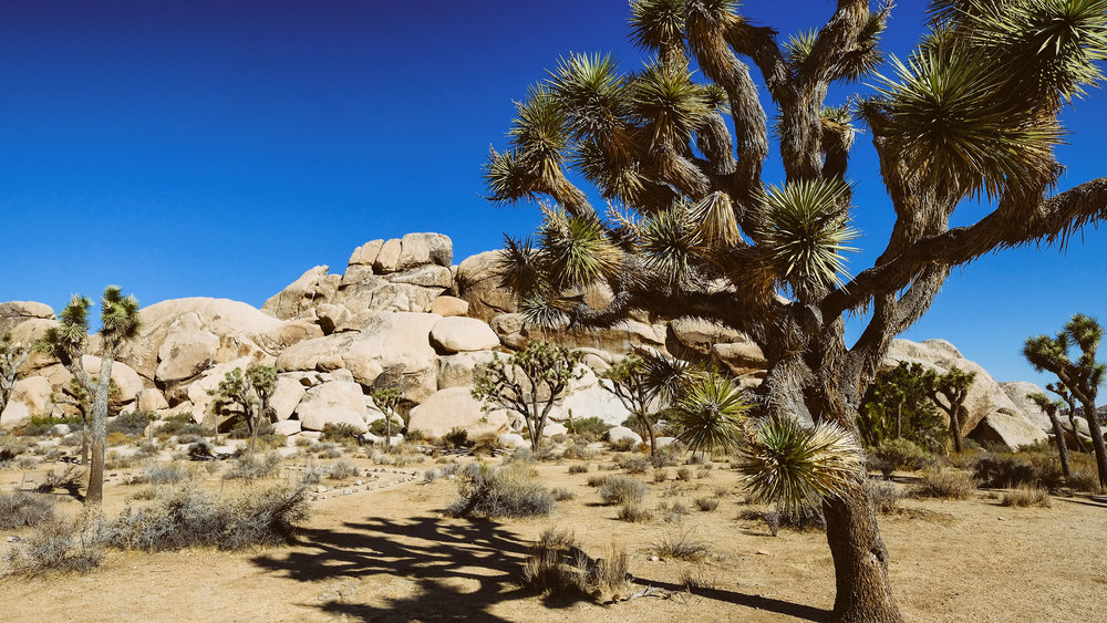 joshua-tree-closeup.jpg