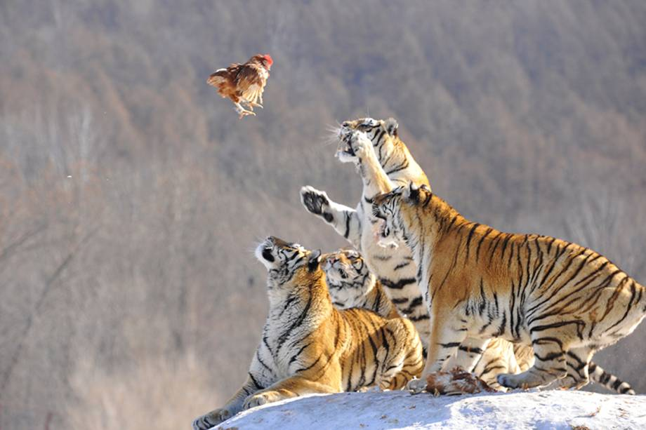 tiger-food.jpg
