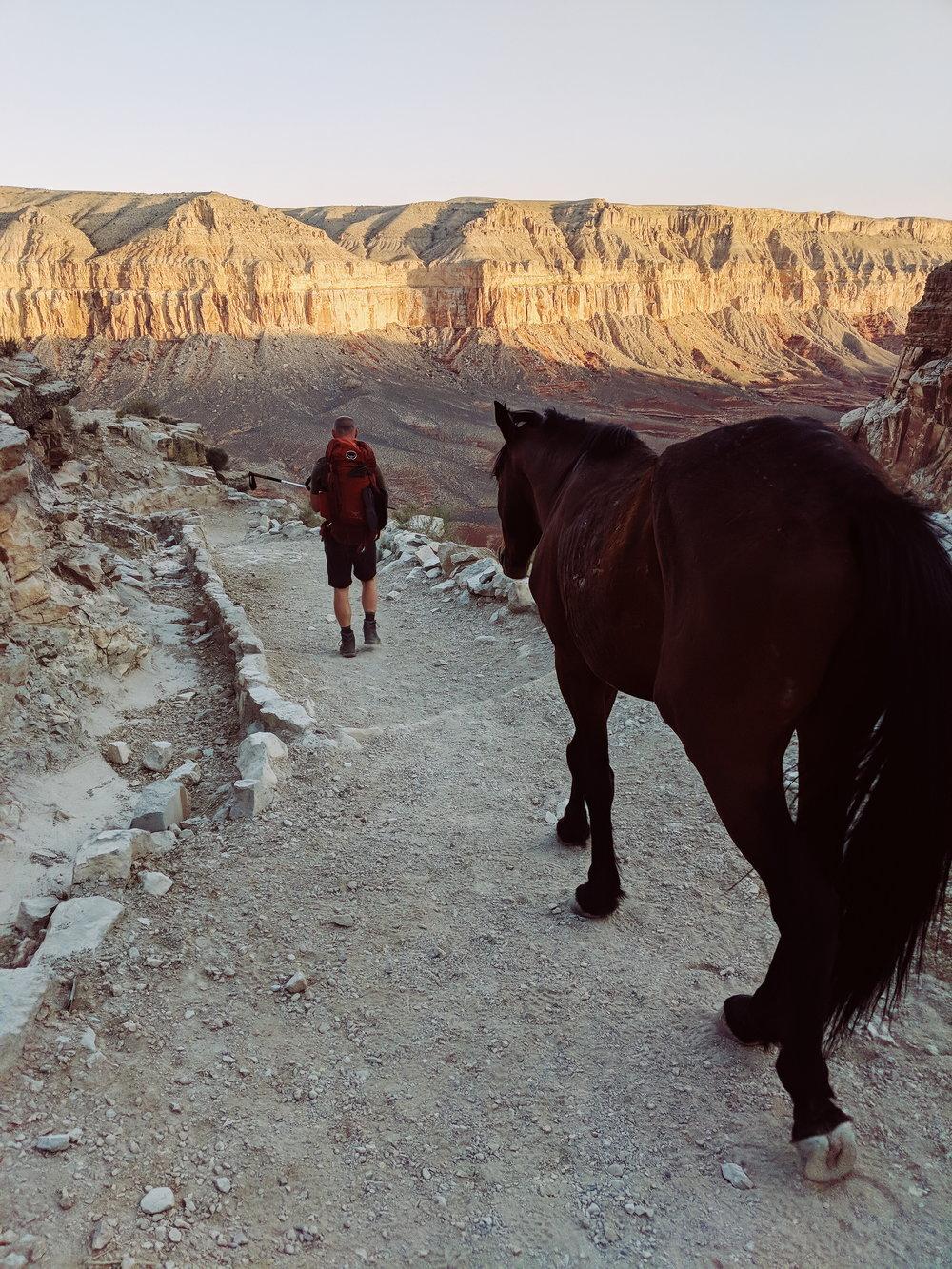 supai mules coming down the trail.jpg