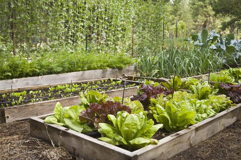 mixed-lettuce--lactuca-sativa--in-raised-bed-141860394-5a8215ca6edd6500369b4860.jpg