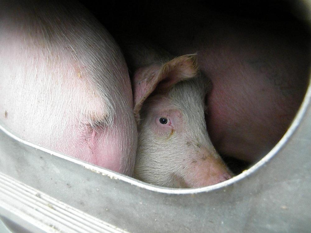 NY Farm Animal Save - Toronto, Canada 2013