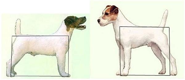 Source : Club du Jack Russell Terrier   La différence entre le Jack Russell Terrier et le Parson Russell Terrier ne se situe pas dans la longueur de poils mais bien dans les proportions. Le Jack Russell Terrier (à gauche) et le Parson Russell Terrier (à droite).