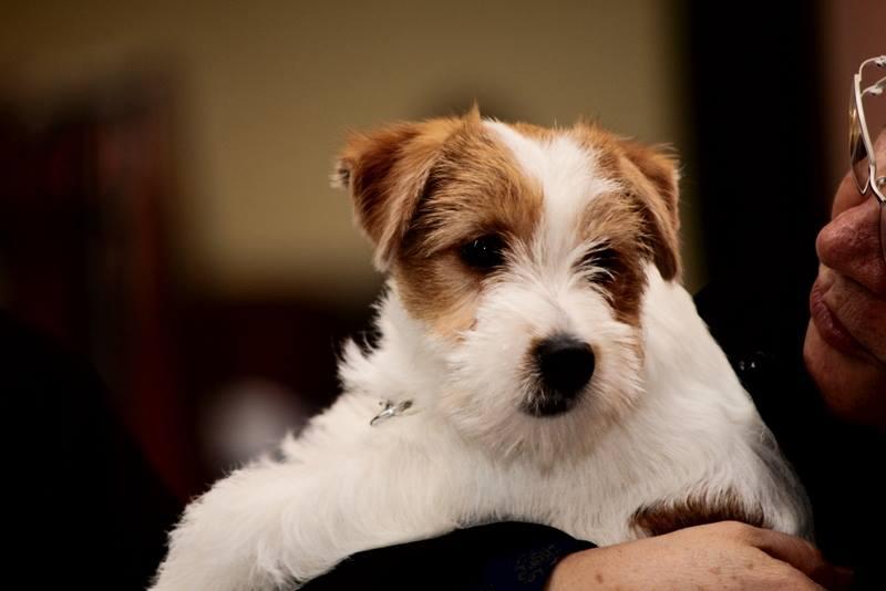 chiot jack Russell terrier australien