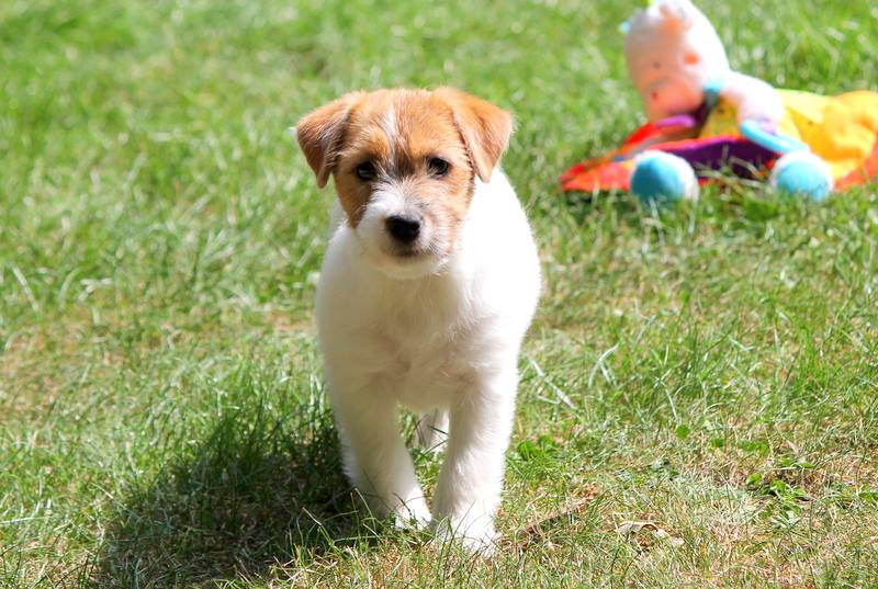 Royal Fox Road chiot jack Russell terrier
