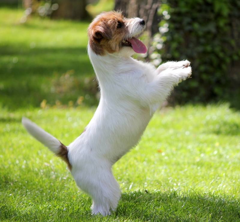 Lancome, jack Russell équilibre