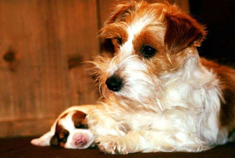 Chiot Jack Russell Terrier et sa maman