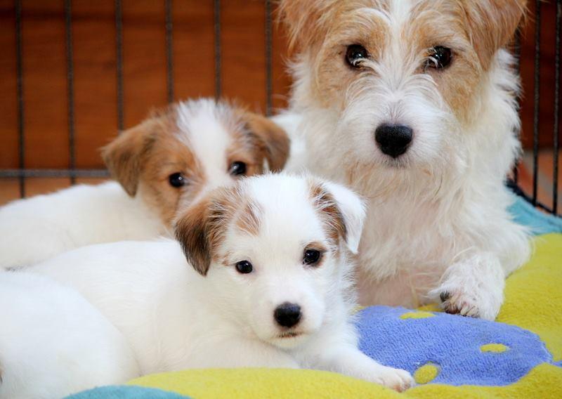 Chiots Jack Russell Terrier et leur maman