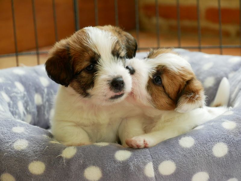 Chiot Jack Russell Terrier bisous