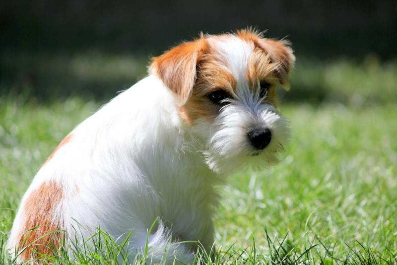 Chiot Jack Russell Terrier jardin