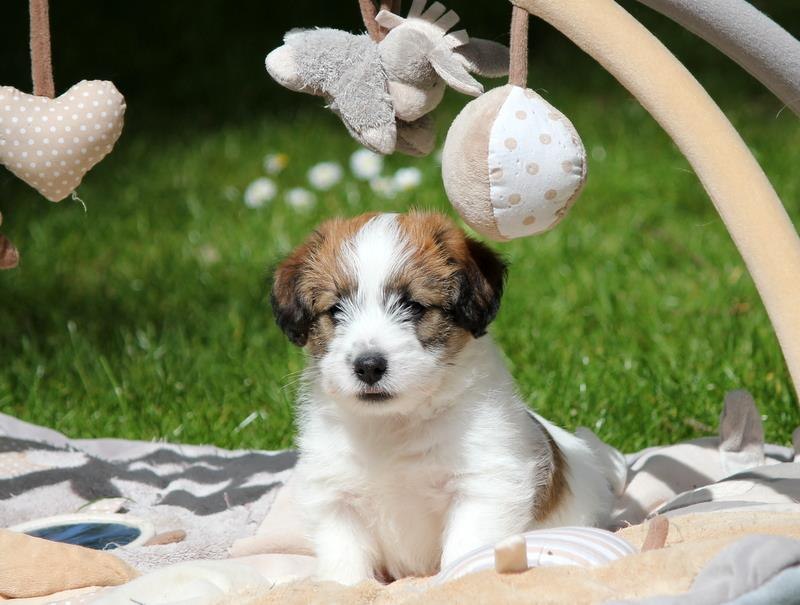 Chiot Jack Russell Terrier education