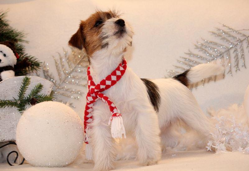 Chiot Jack Russell Terrier Noël