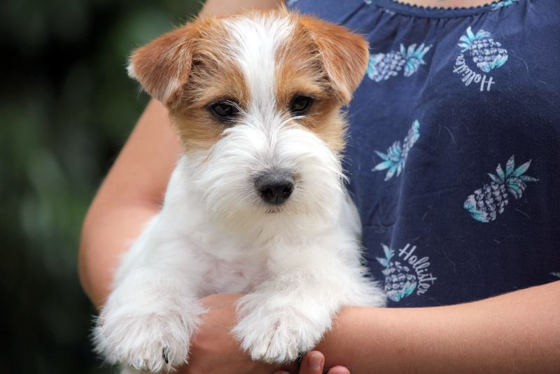 Chiot Jack Russell Terrier poils durs