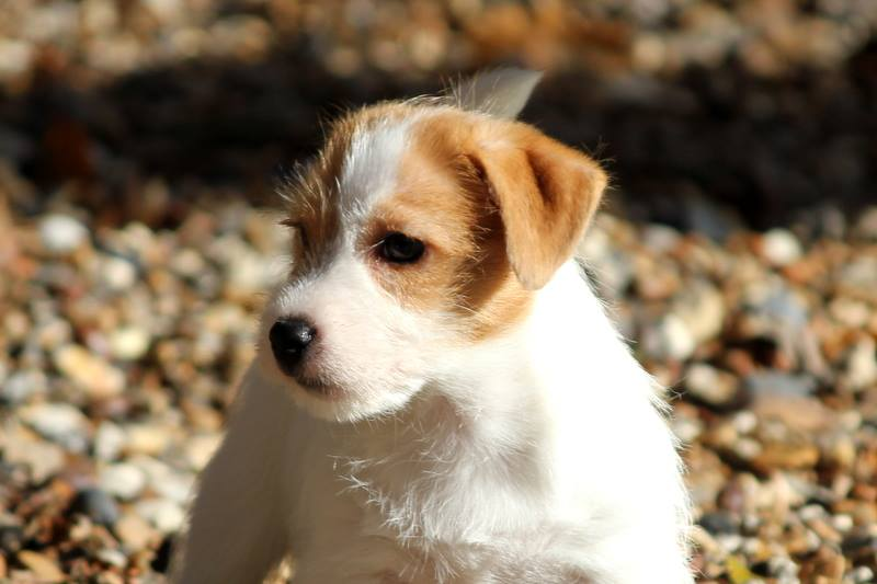 Education Chiot Jack Russell Terrier