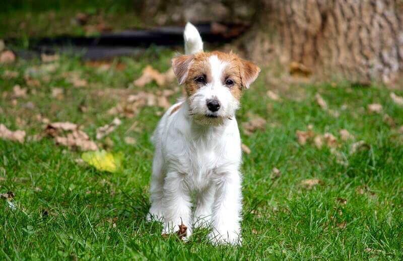 Chiot Jack Russell Terrier dehors