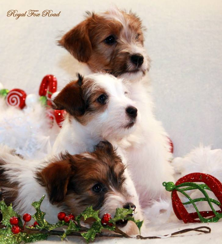Chiot Jack Russell Terrier fratrie