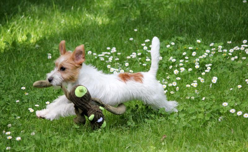 Jack Russell terrier jeux