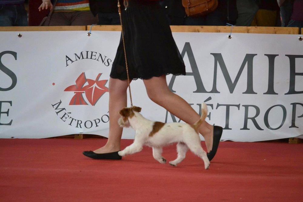 Handling Jack Russell terrier