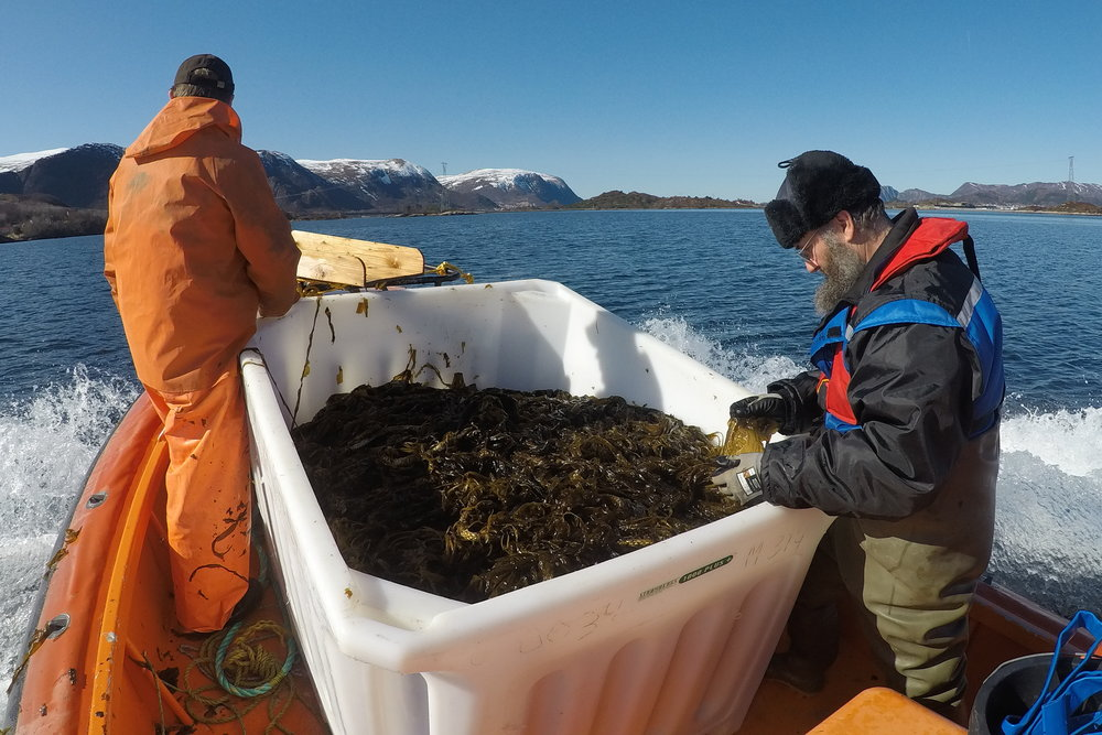 First harvest of winged kelp (Alaria esculenta) from Skarveskjæret