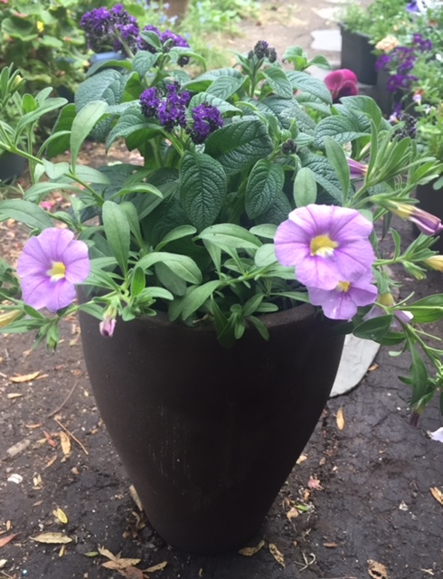 Perfect purples, heliotrope & calibrachoa