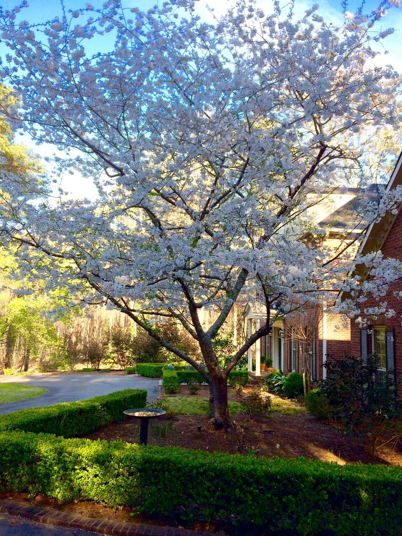 Okame Tree.jpg
