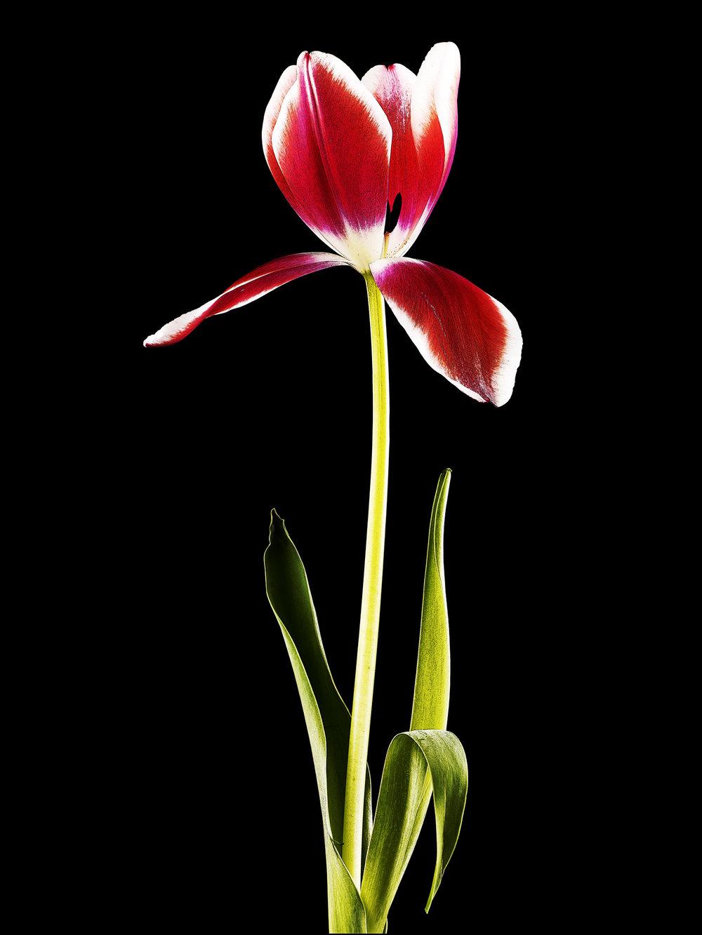 Tulip-4.jpg