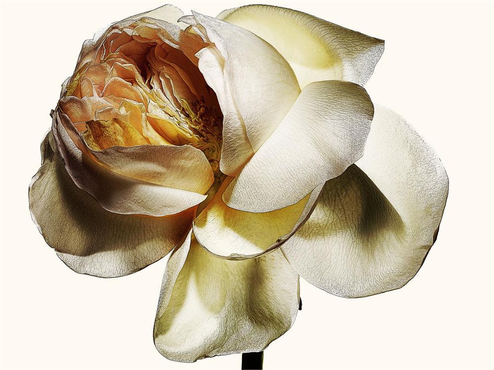 Roses-3.jpg