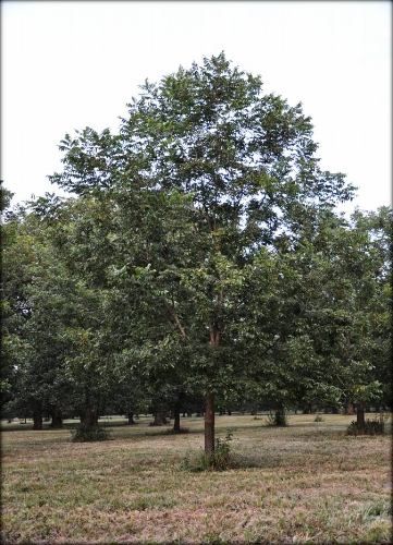 grafted_pecan_tree