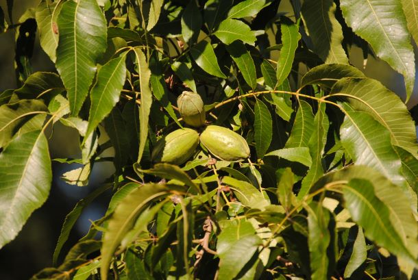 farm_fresh_pecans_growing