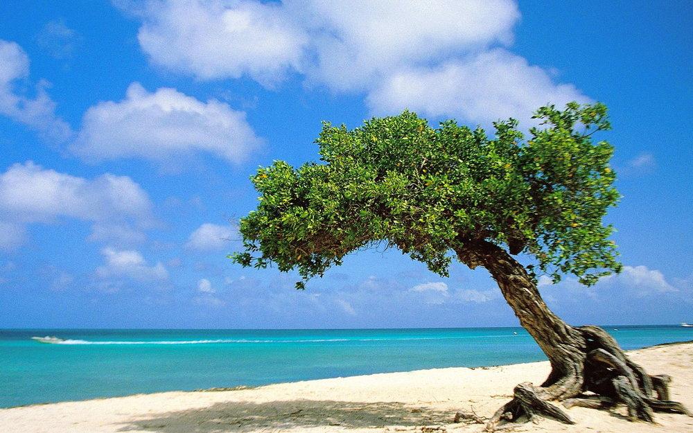 Divi-divi-Tree-Aruba-pictures.jpg