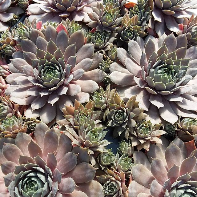 Sempervivum 'Red Heart' smiling at the sun.  #ruffledfeathersfarmnh #nhfarm #sempervivum #succulents #succulove #hensandchicks