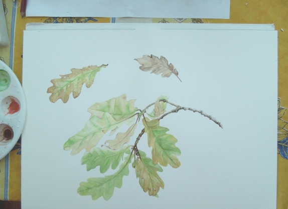 Oak botanical007.jpg