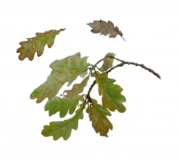 Oak botanical001.jpg